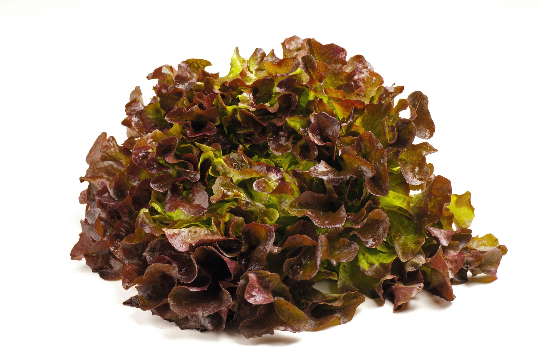 Salade Lollo Rosso