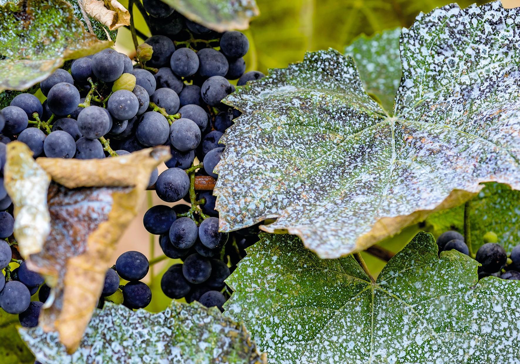 Bouillie bordelaise sur des feuilles de vigne