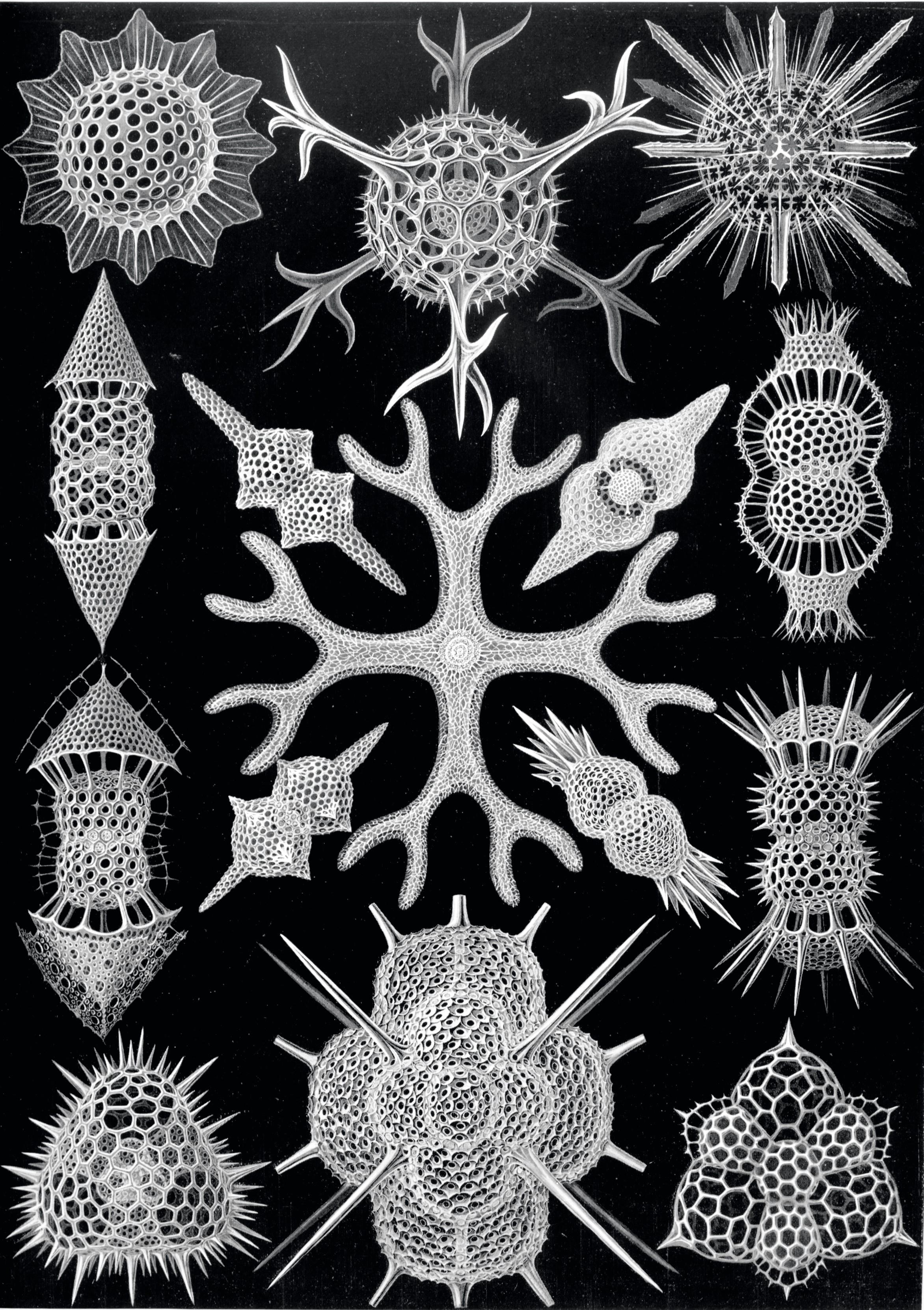 Dessins de squelettes de radiolaires d'Ernst Haeckel