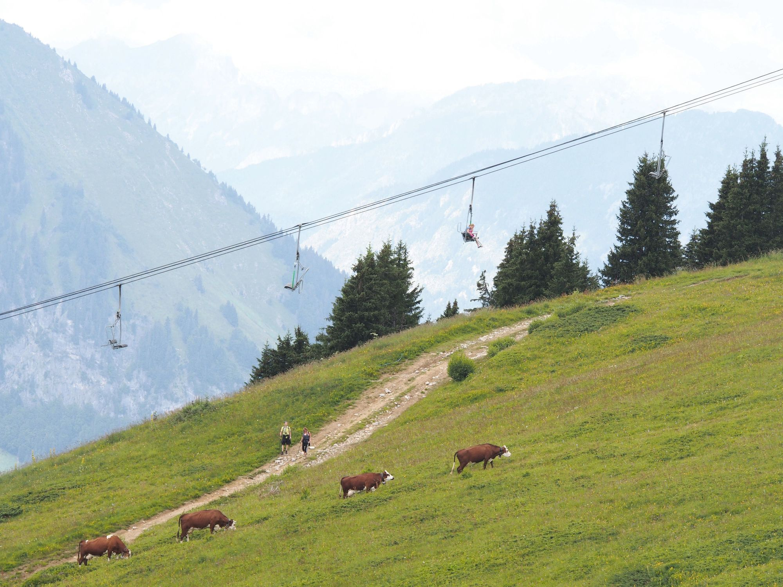 Vaches pâturant à Valmorel (Savoie)