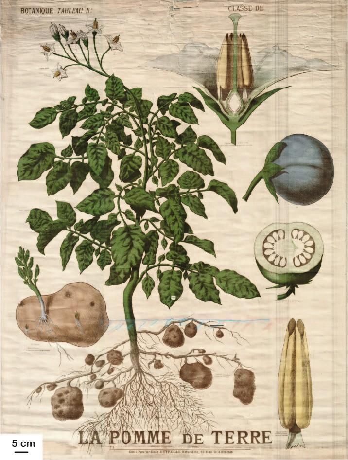 Planche botanique de la pomme de terre, éditée au XIXe siècle par Émile Deyrolle, naturaliste français
