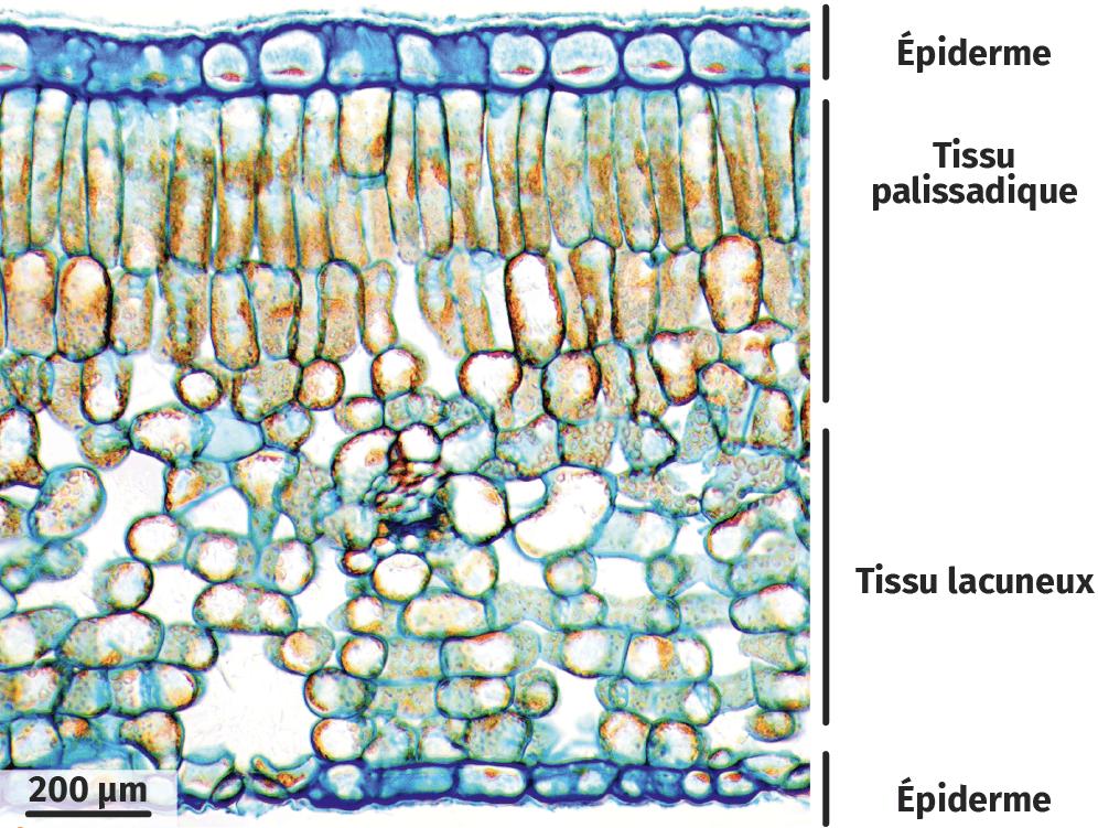 Coupe transversale d'une feuille de pomme de terre au microscope optique