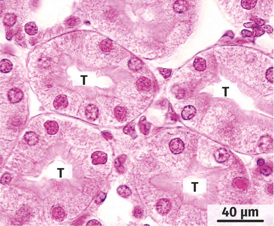 Coupe transversale de rein observée au microscope optique