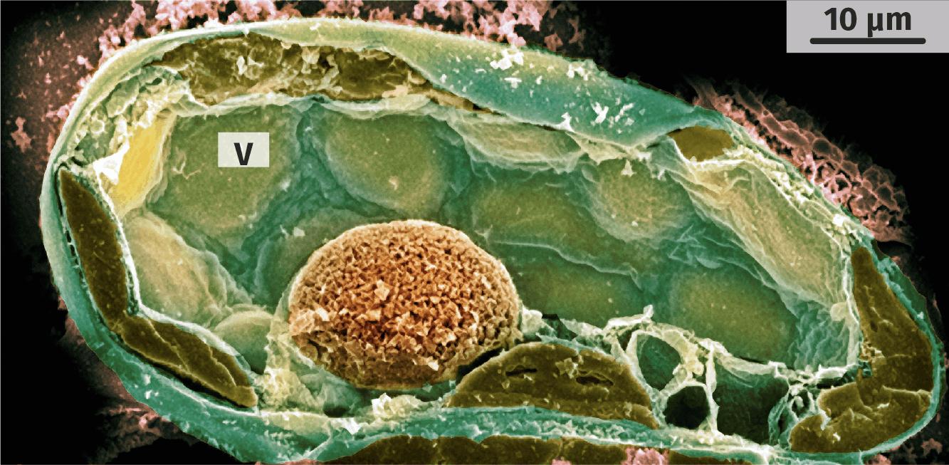 Cellule foliaire végétale observée au microscope électronique à balayage