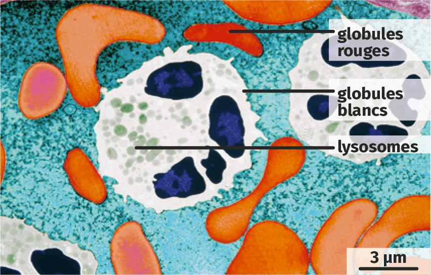Cellules sanguines