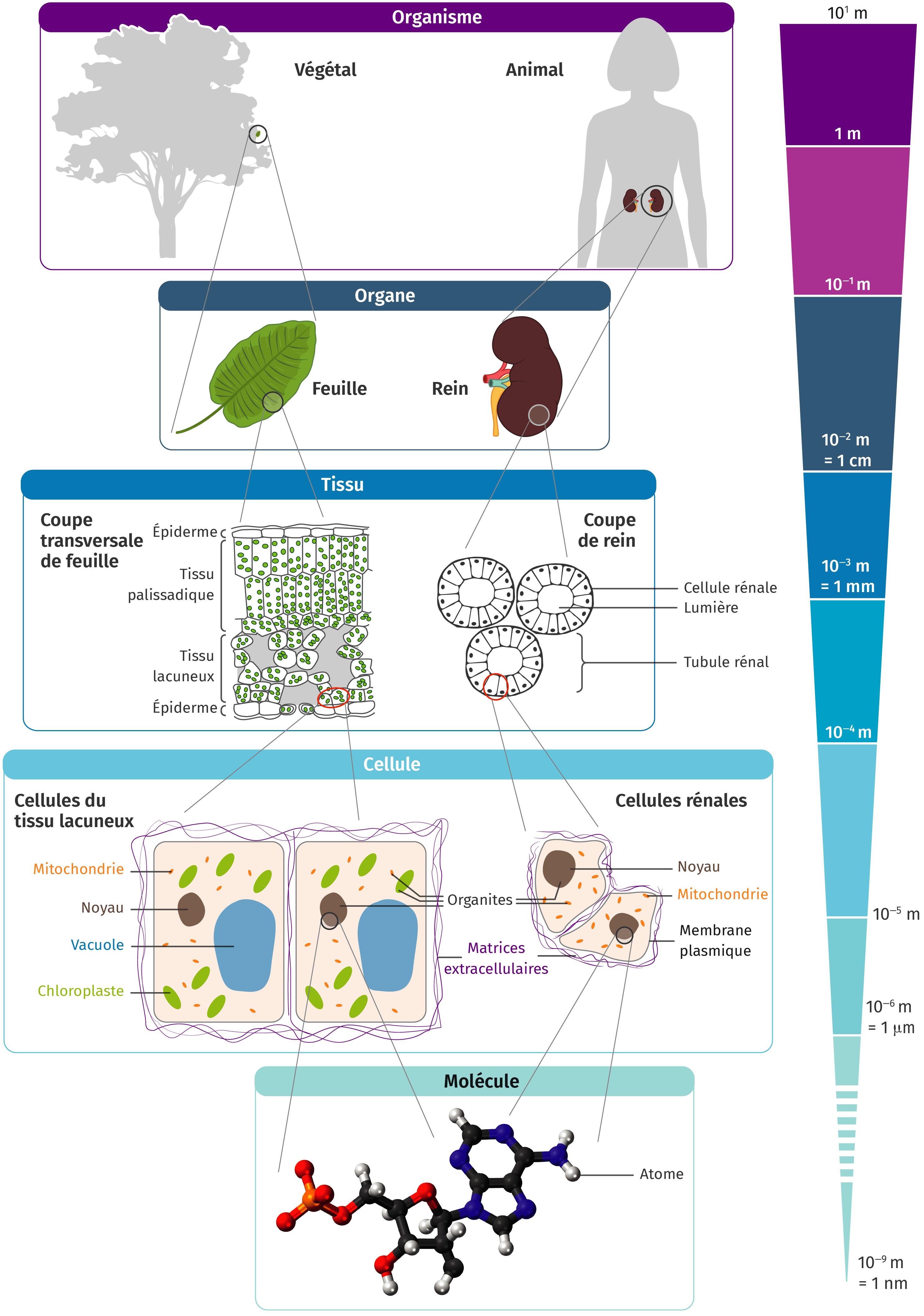 schéma bilan, organisme pluricellulaire ensemble cellules spécialisées