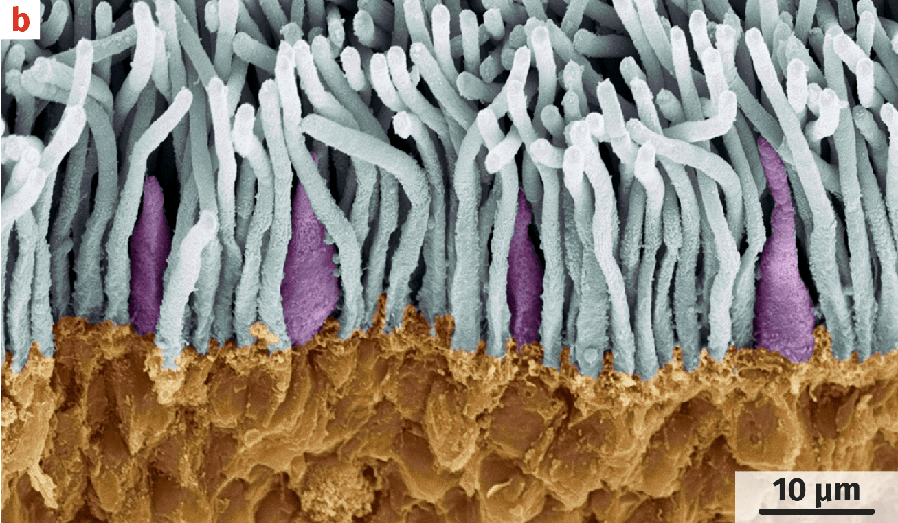 structure de la rétine