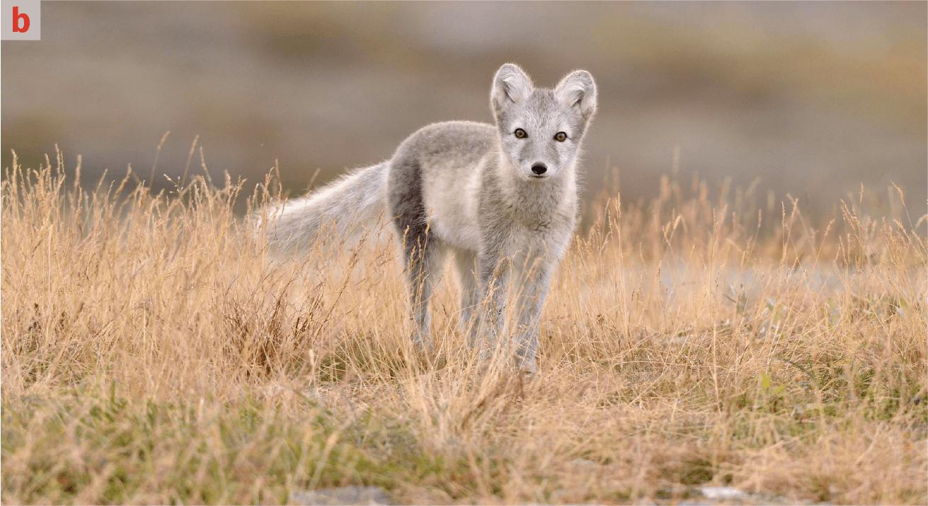 renard artique