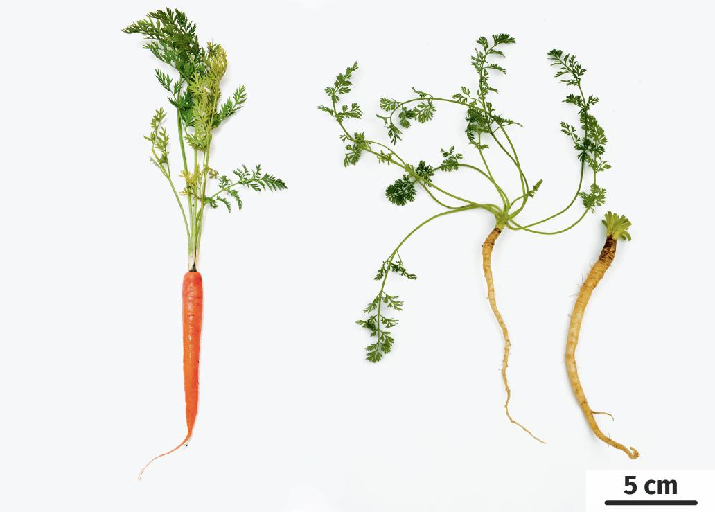 Morphologie des carottes cultivées et des carottes sauvages