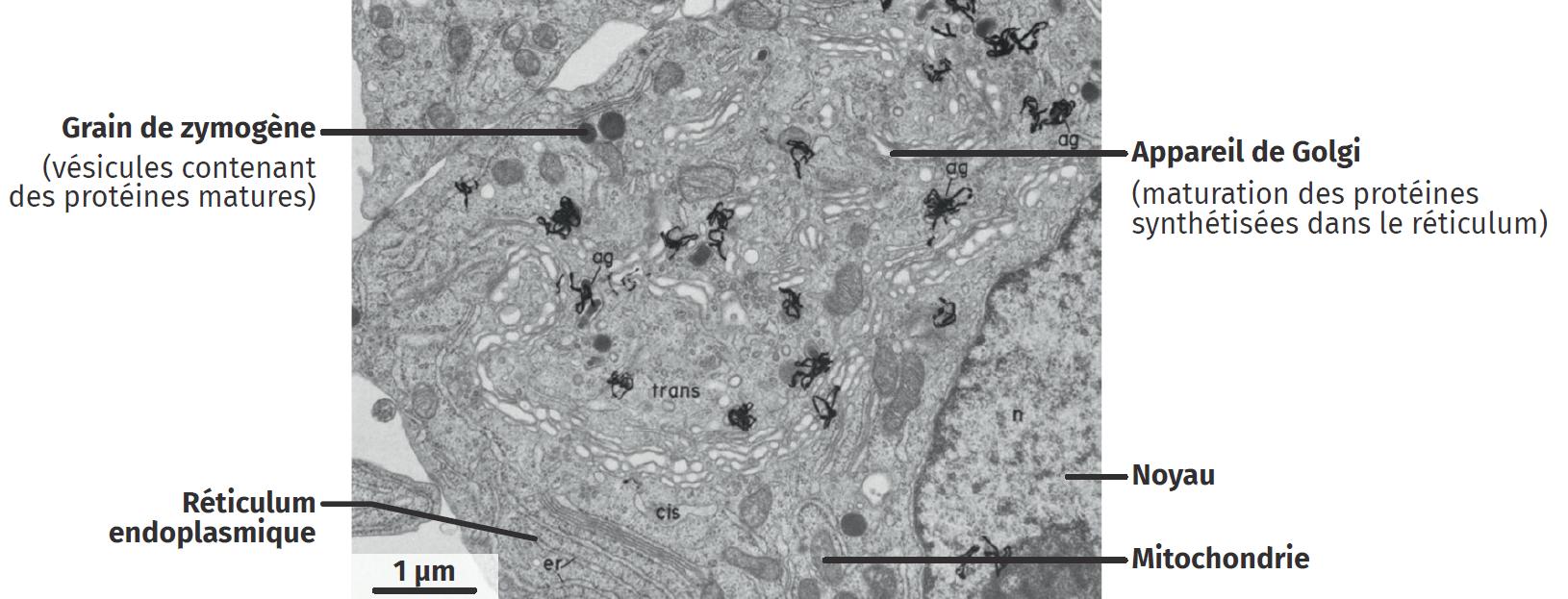 Marquage radioactif des protéines dans une cellule de pancréas de rat