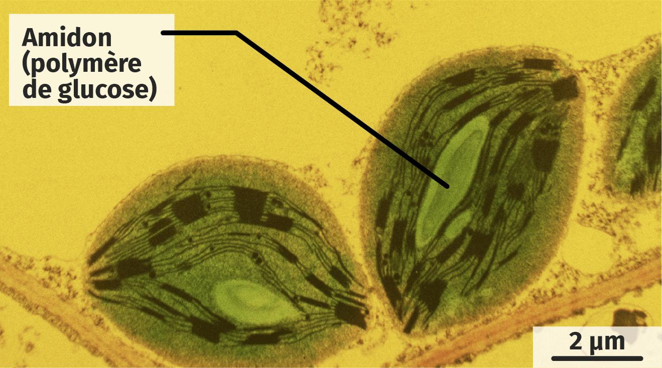 Observation de chloroplastes de cellules végétales éclairées en présence ou non de dioxyde de carbone