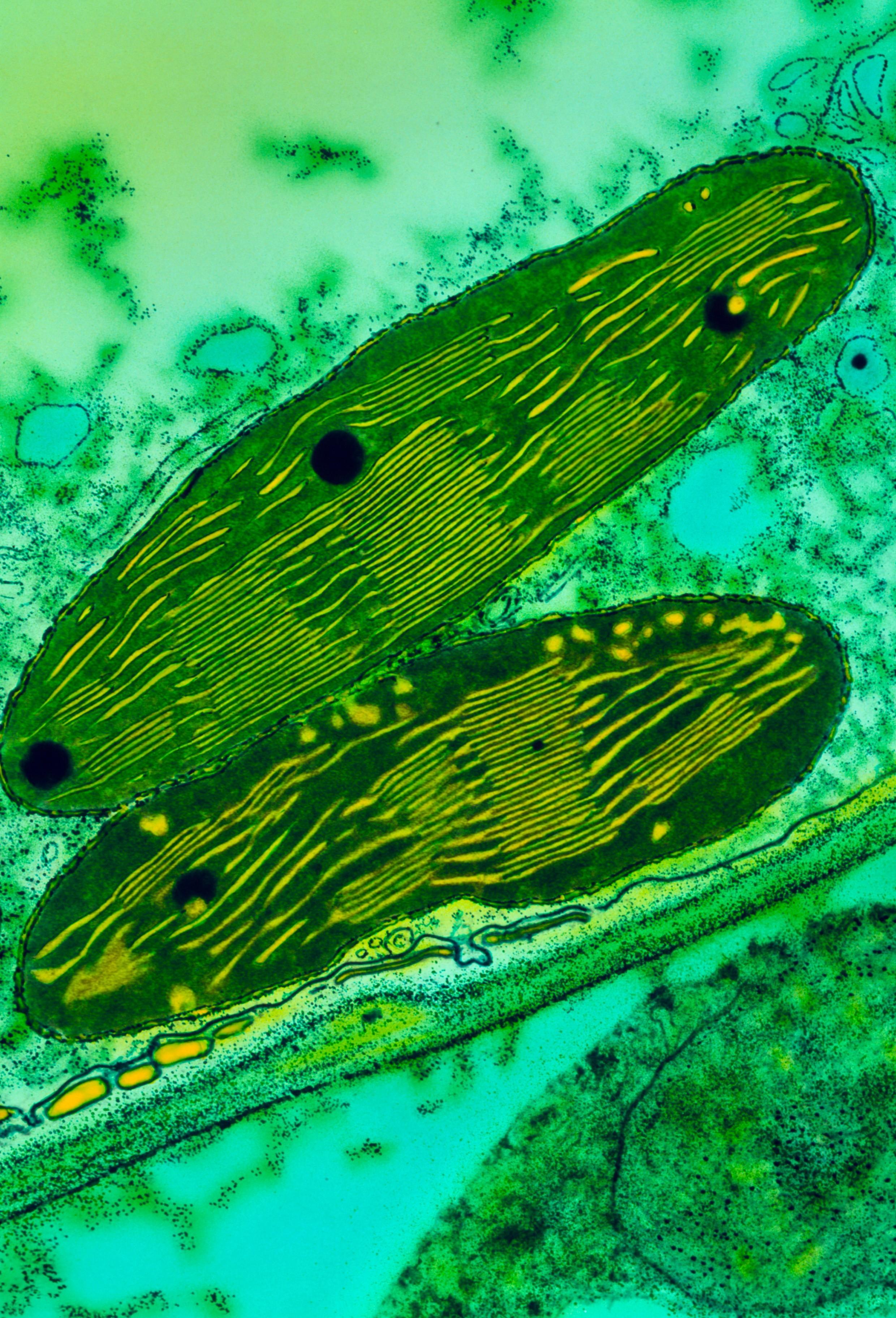 Chloroplastes de petits pois