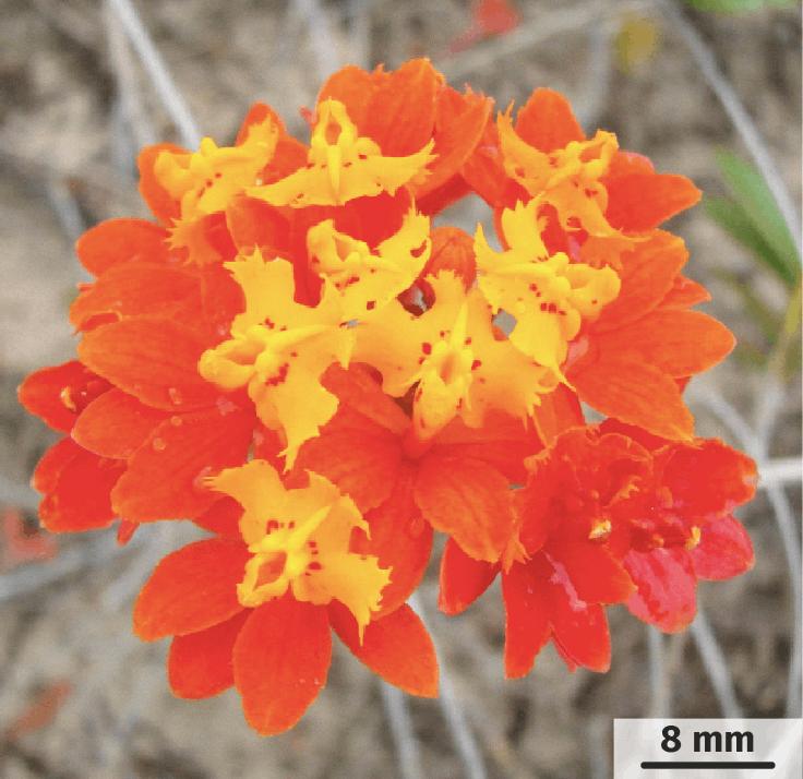 Fleurs de E. fulgens