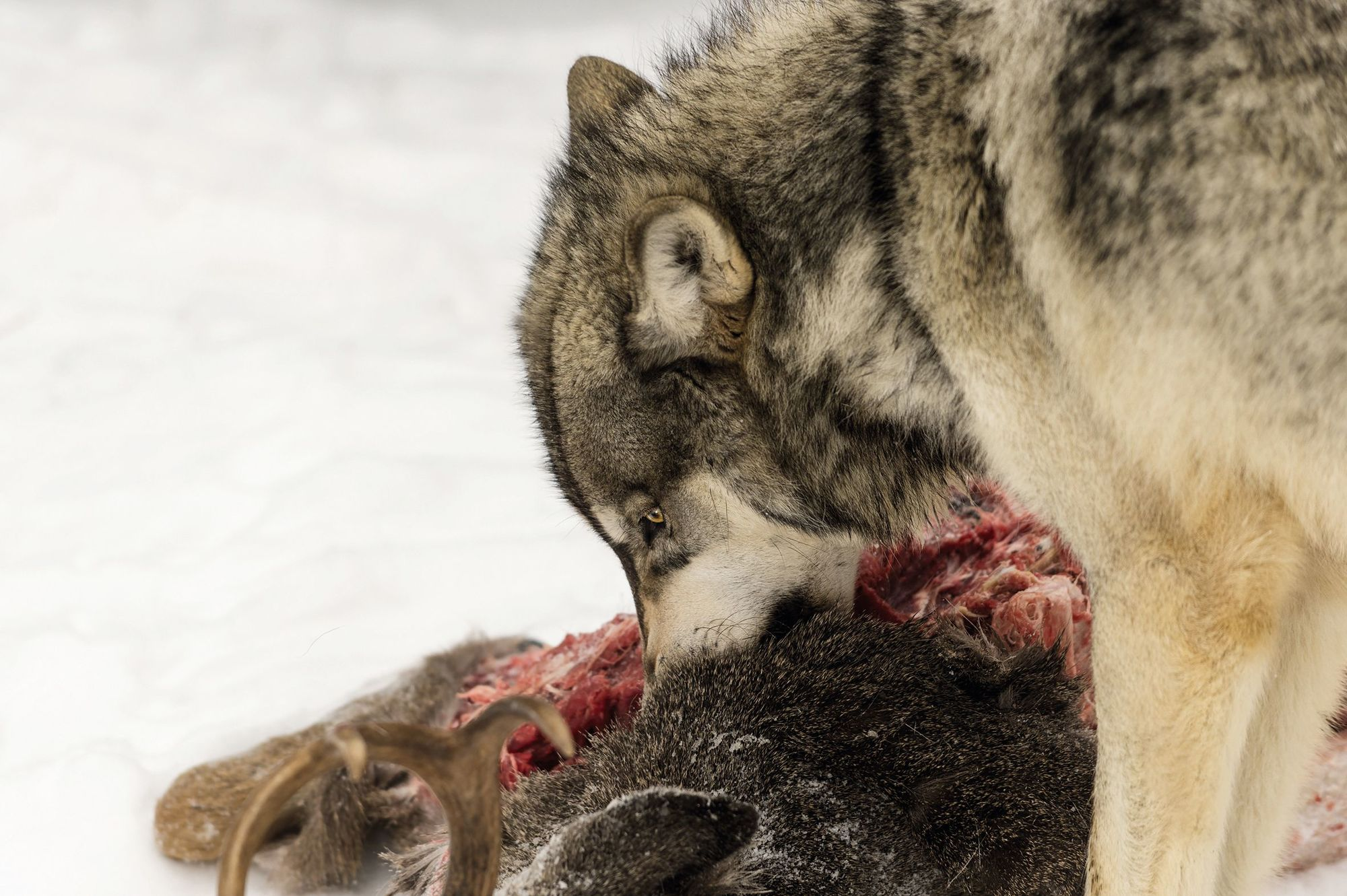Loup dévorant un élan dans le parc de Yellowstone