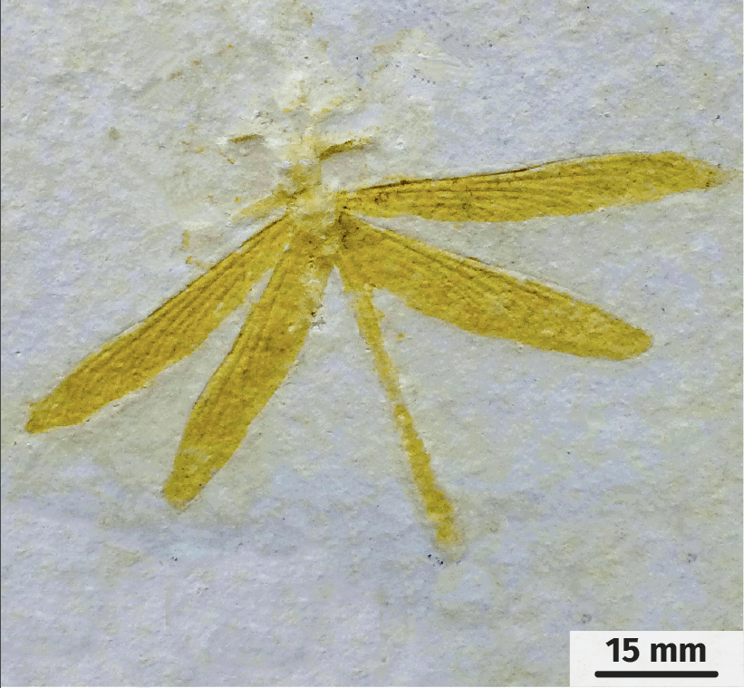 Une libellule fossilisée
