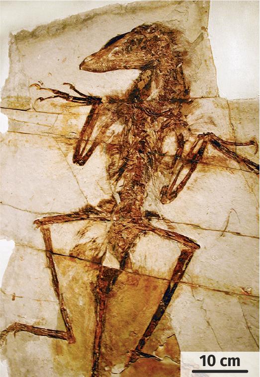 Un fossile de raptor