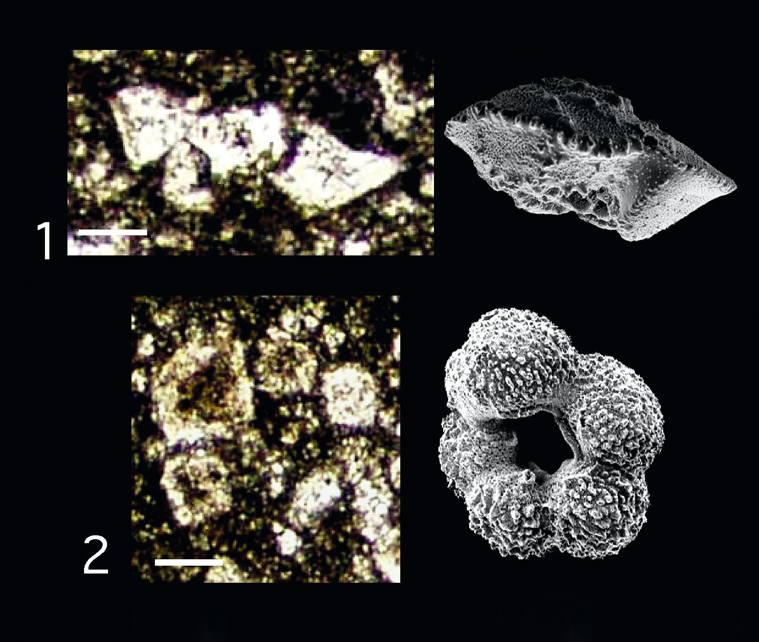 Détermination de la présence de foraminifères planctoniques dans des sédiments de la fin du Crétacé et du début du Paléocène au Mexique