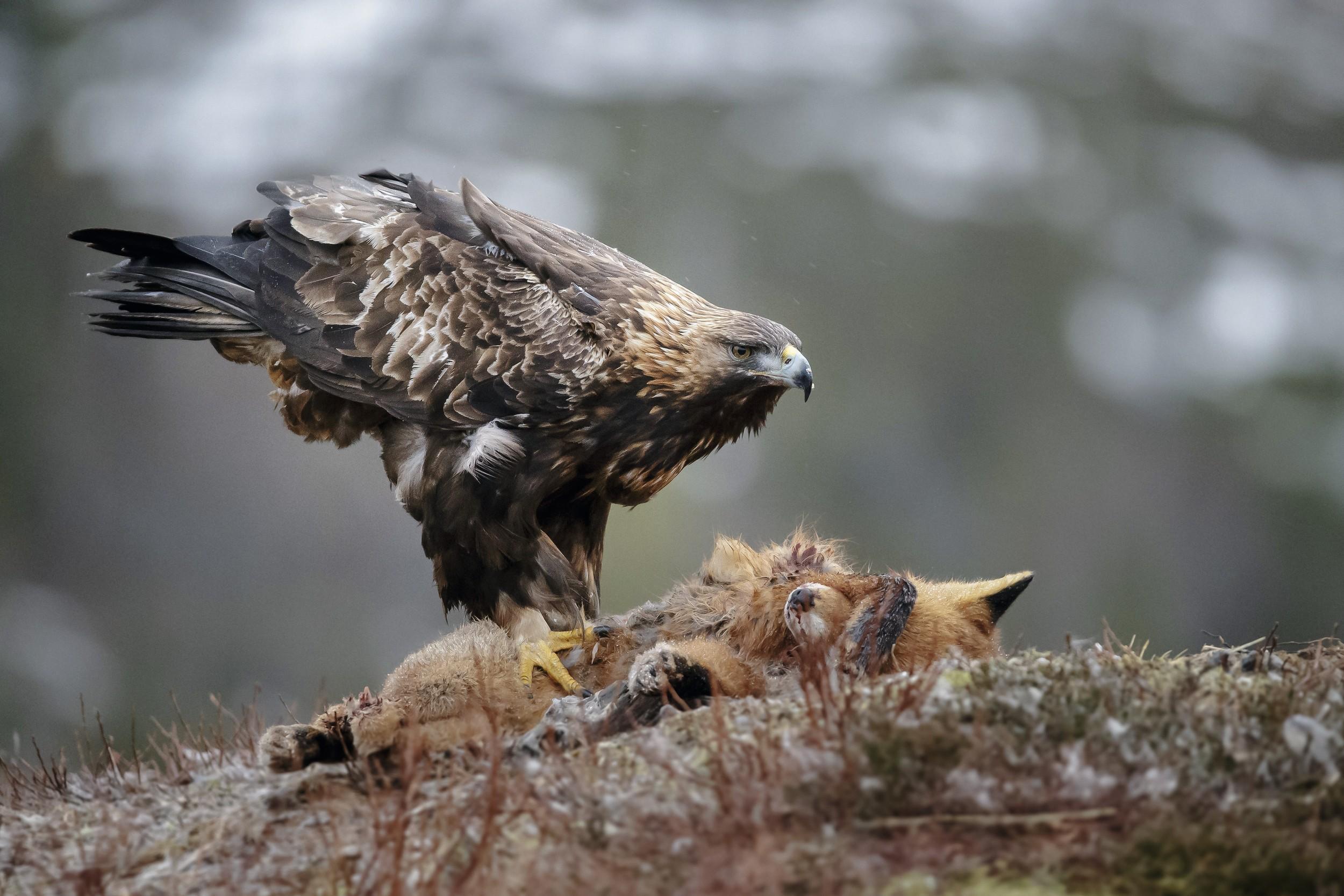 Un aigle royal sur une carcasse de renard
