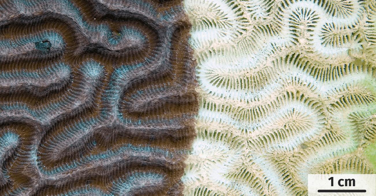 Un aperçu d'un corail avant et après blanchiment