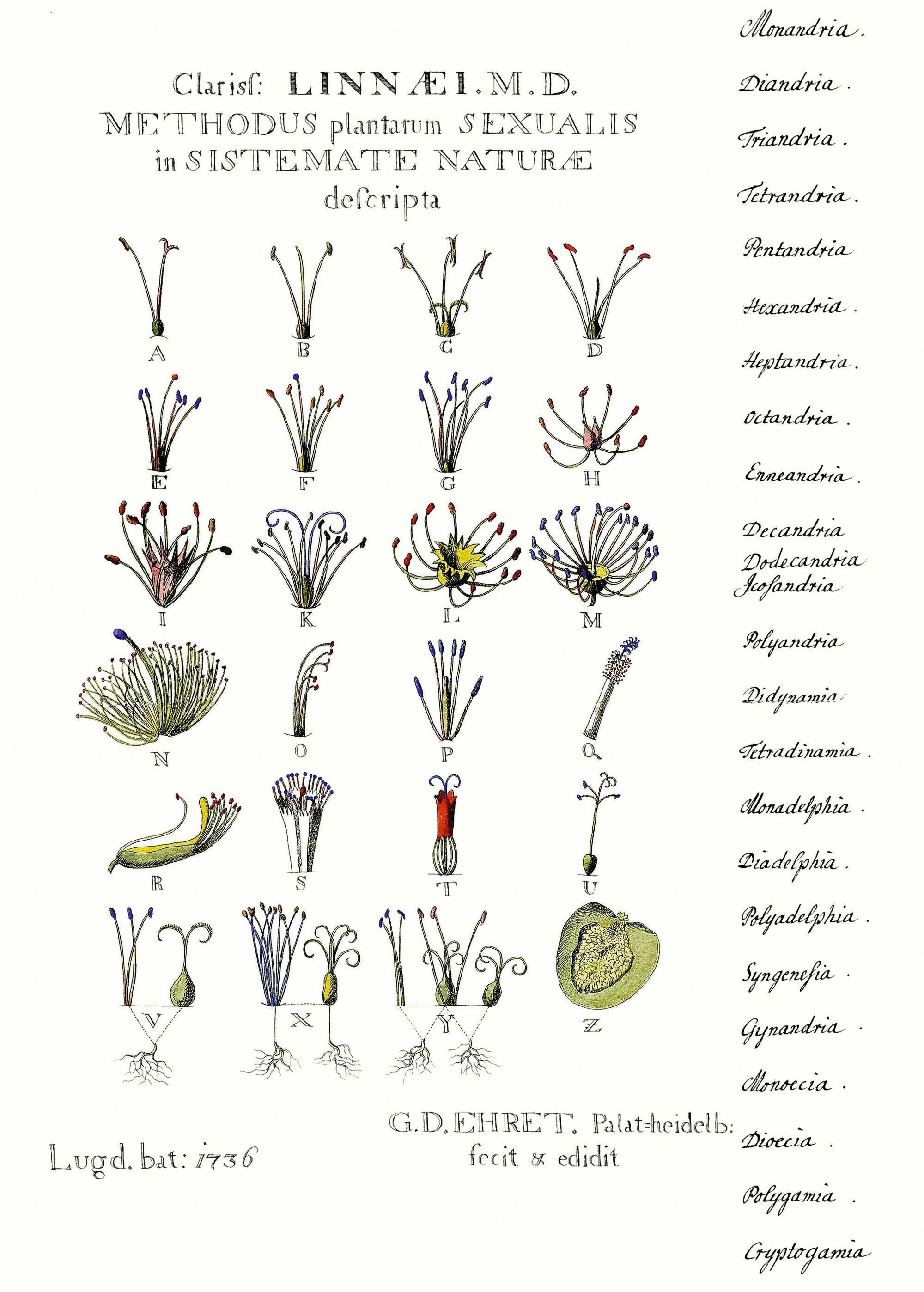 Description des organes sexuels des plantes par Linné, gravure de G. Ehret, 1736