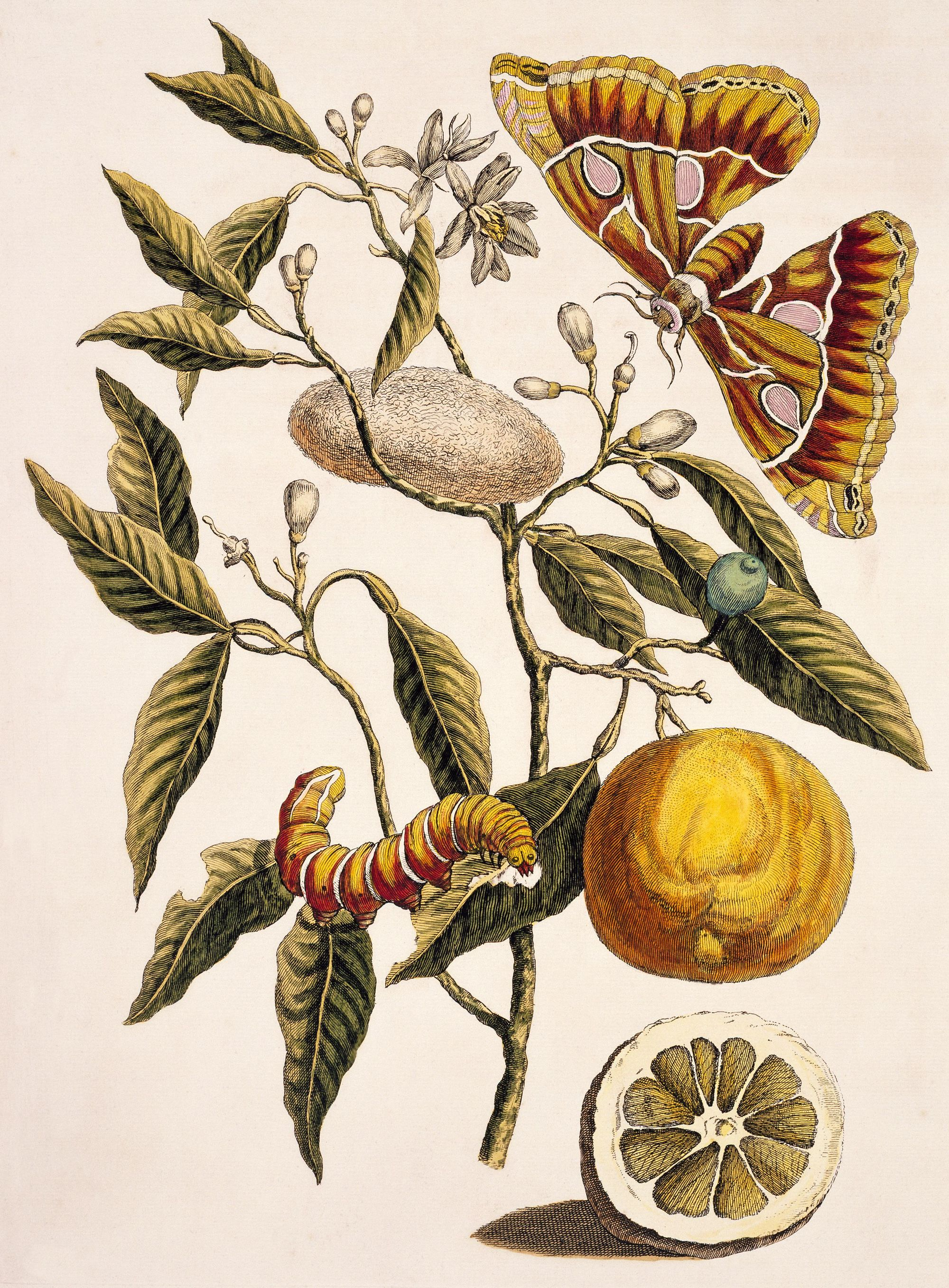 Maria Sibylla Merian, Metamorphosis insectorum Surinamensium, 1705, dessin