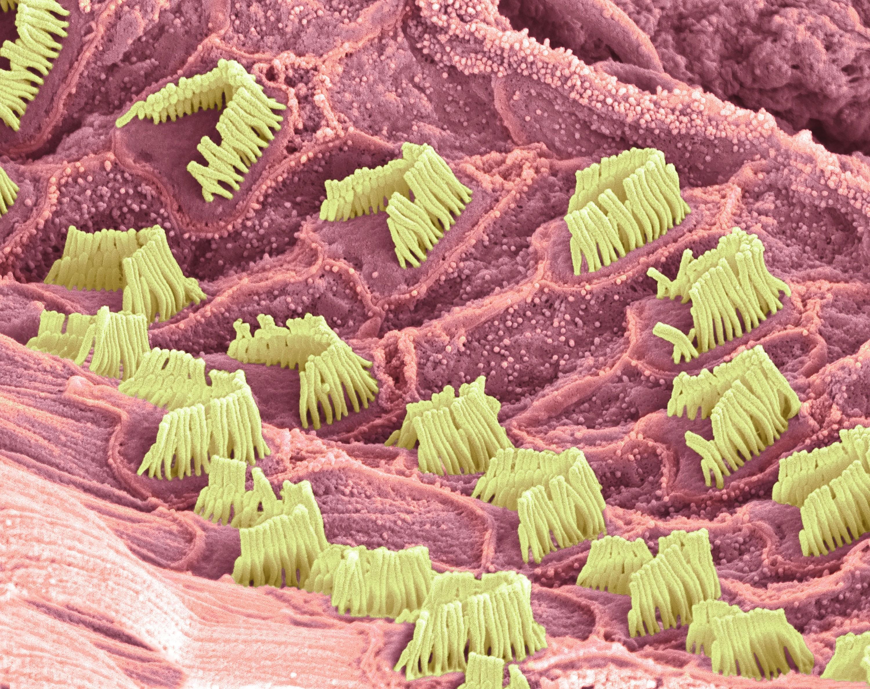 Photographie des cils vibratiles des cellules ciliées (MEB)