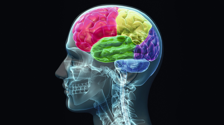 Les grandes régions du cerveau