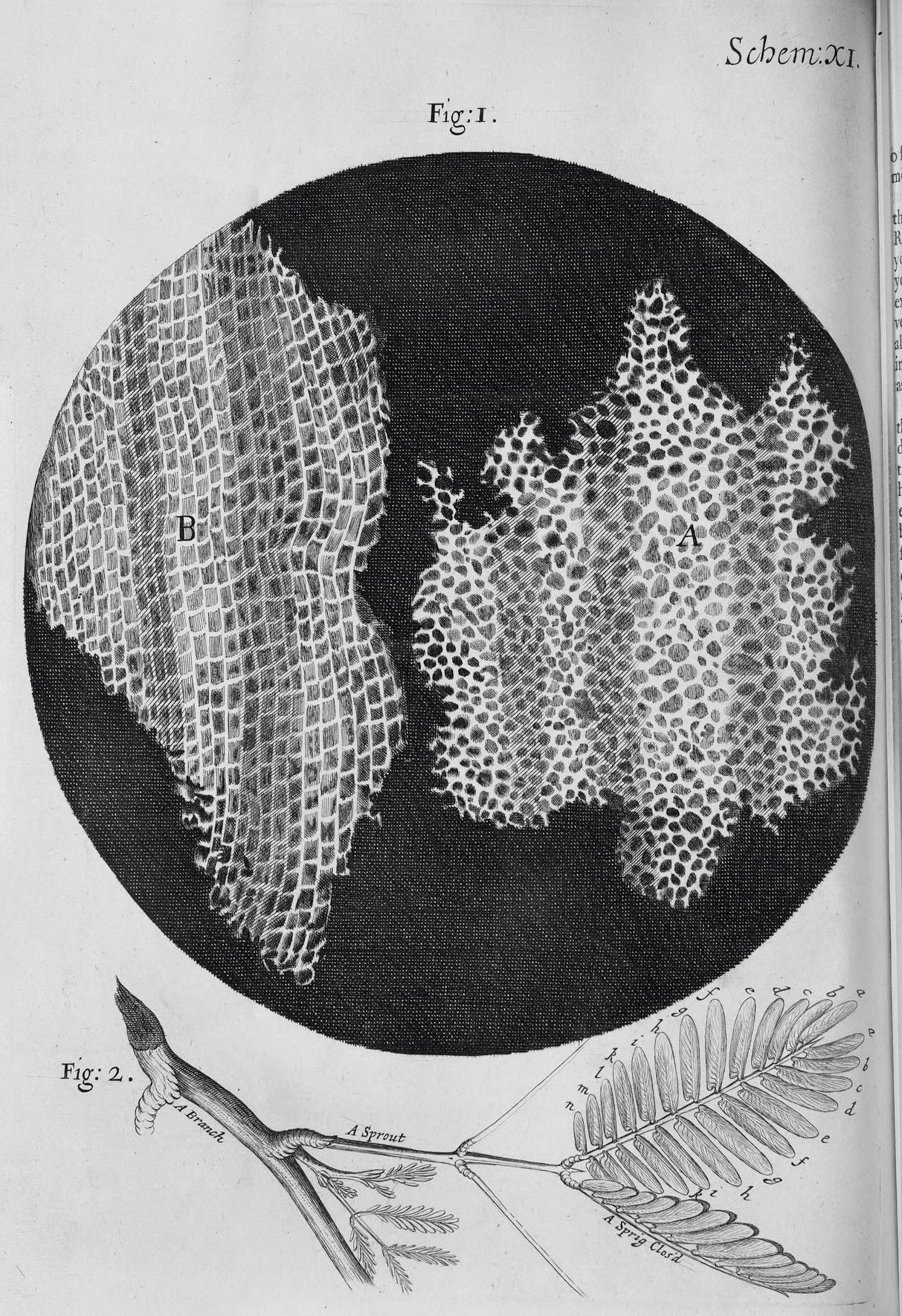 Dessin d'observation du liège par Hooke