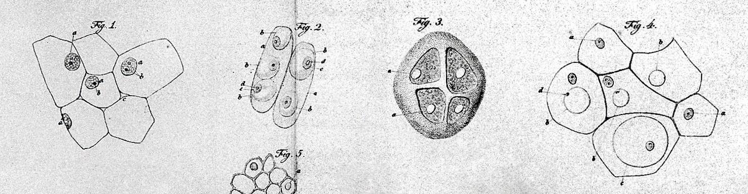 Extrait d'une planche d'observation de Schwann publiée en 1839 dans Mikroskopische Untersuchungen