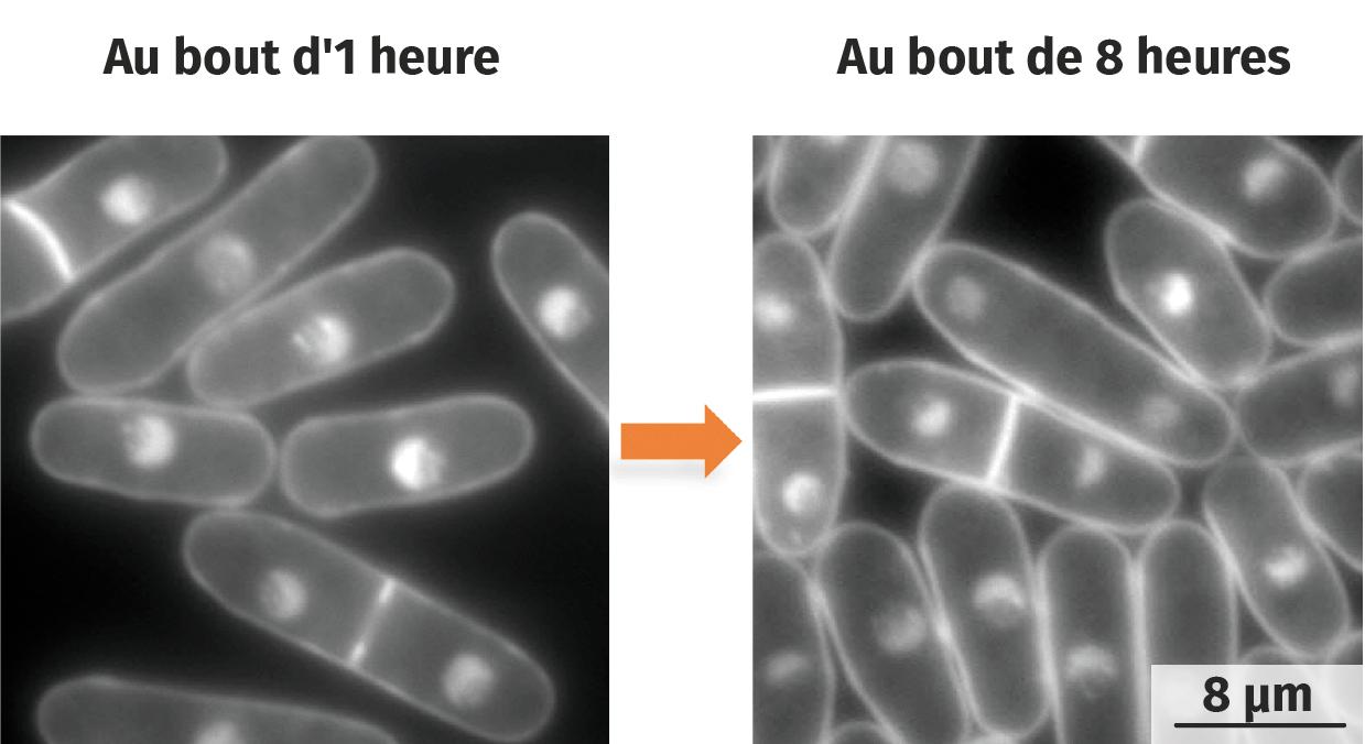 Observation d'une fission cellulaire chez la levure Saccharomyces pombe (clichés chronologiques).