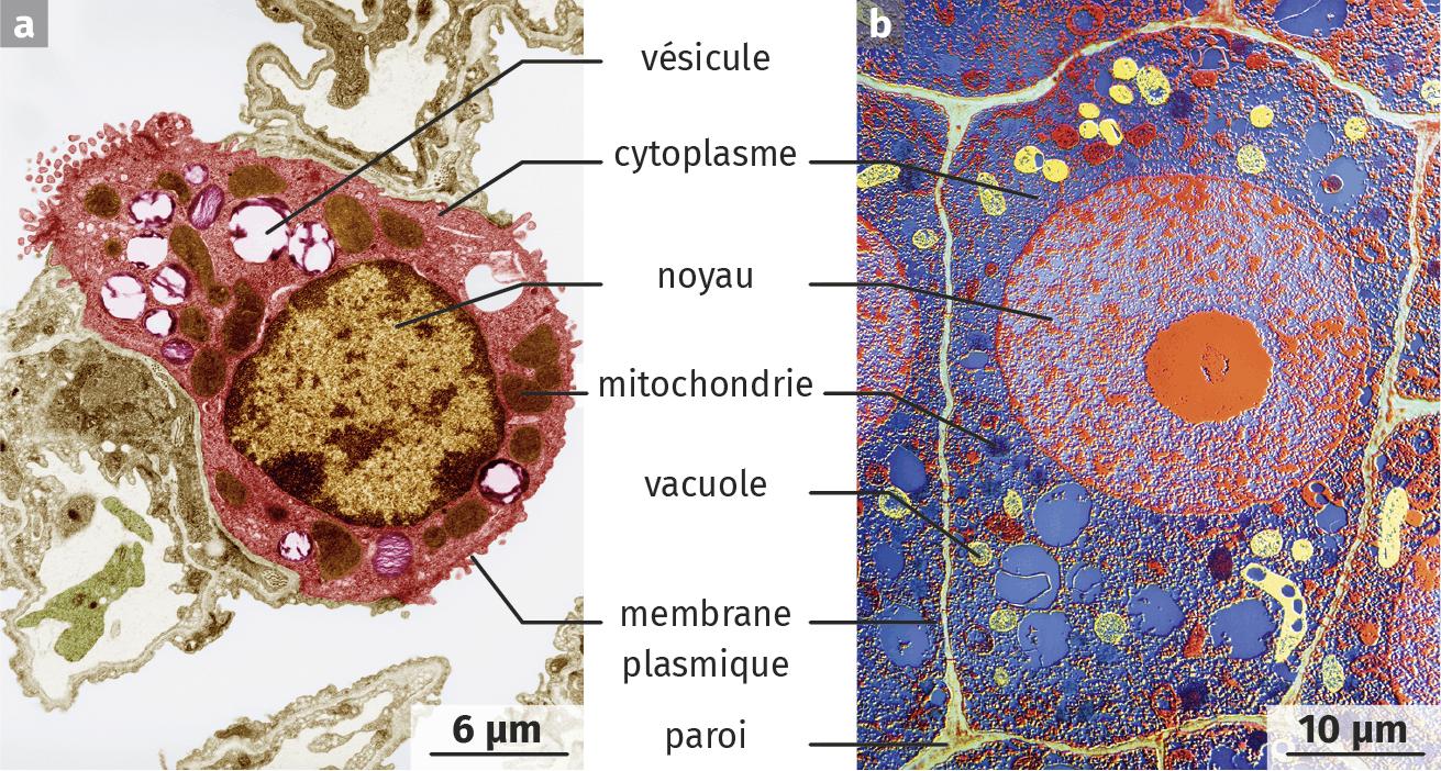 Observation d'un pneumocyte (cellule pulmonaire animale) et d'une cellule végétale de maïs