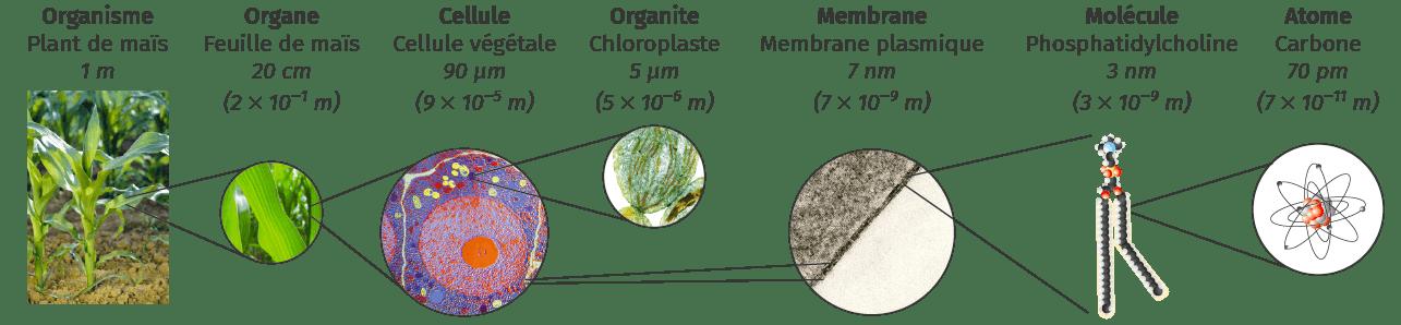 Échelle et ordre de grandeur : de l'organisme à l'atome