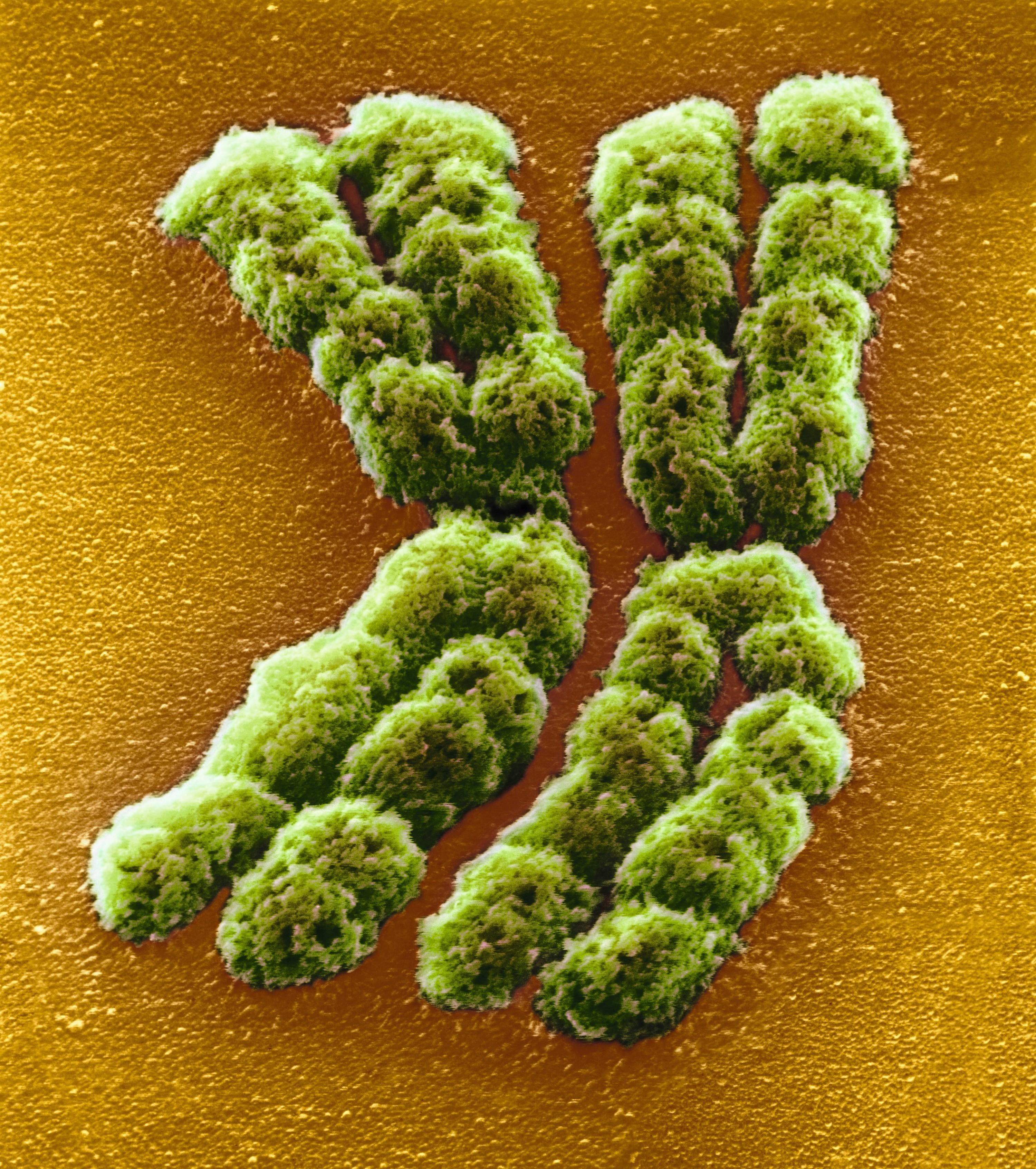 Paire de chromosomes.