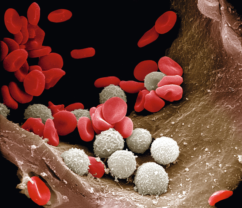 Artériole contenant des globules rouges et blancs