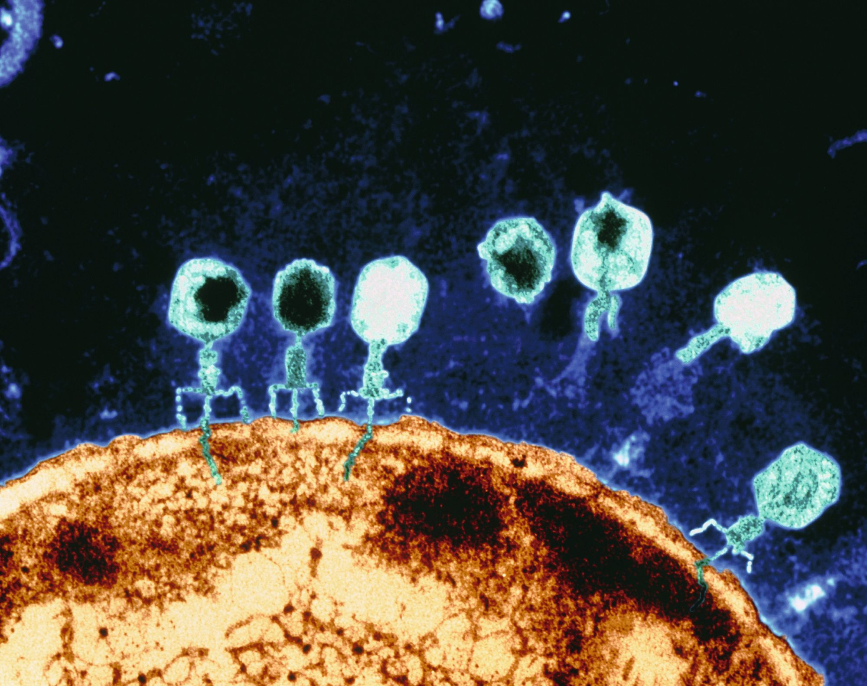 Un bactériophage T4