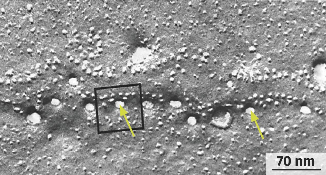 Observation de la surface d'un neurone en activité