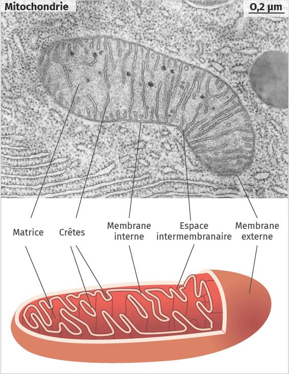 Observations au MET d'une mitochondrie avec schéma interprétatif