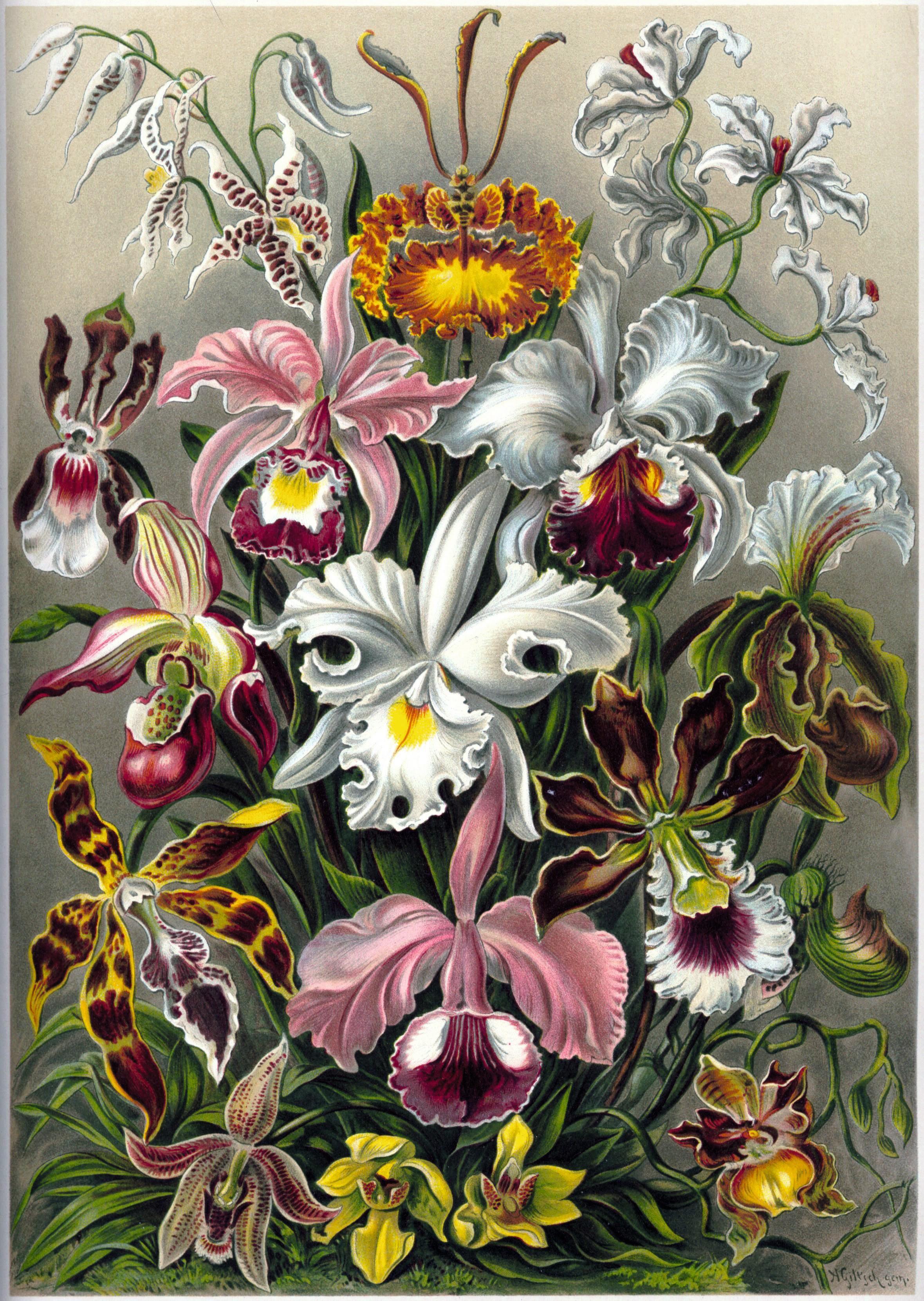 Ernst Haeckel Orchidae dans Formes artistiques de la nature
