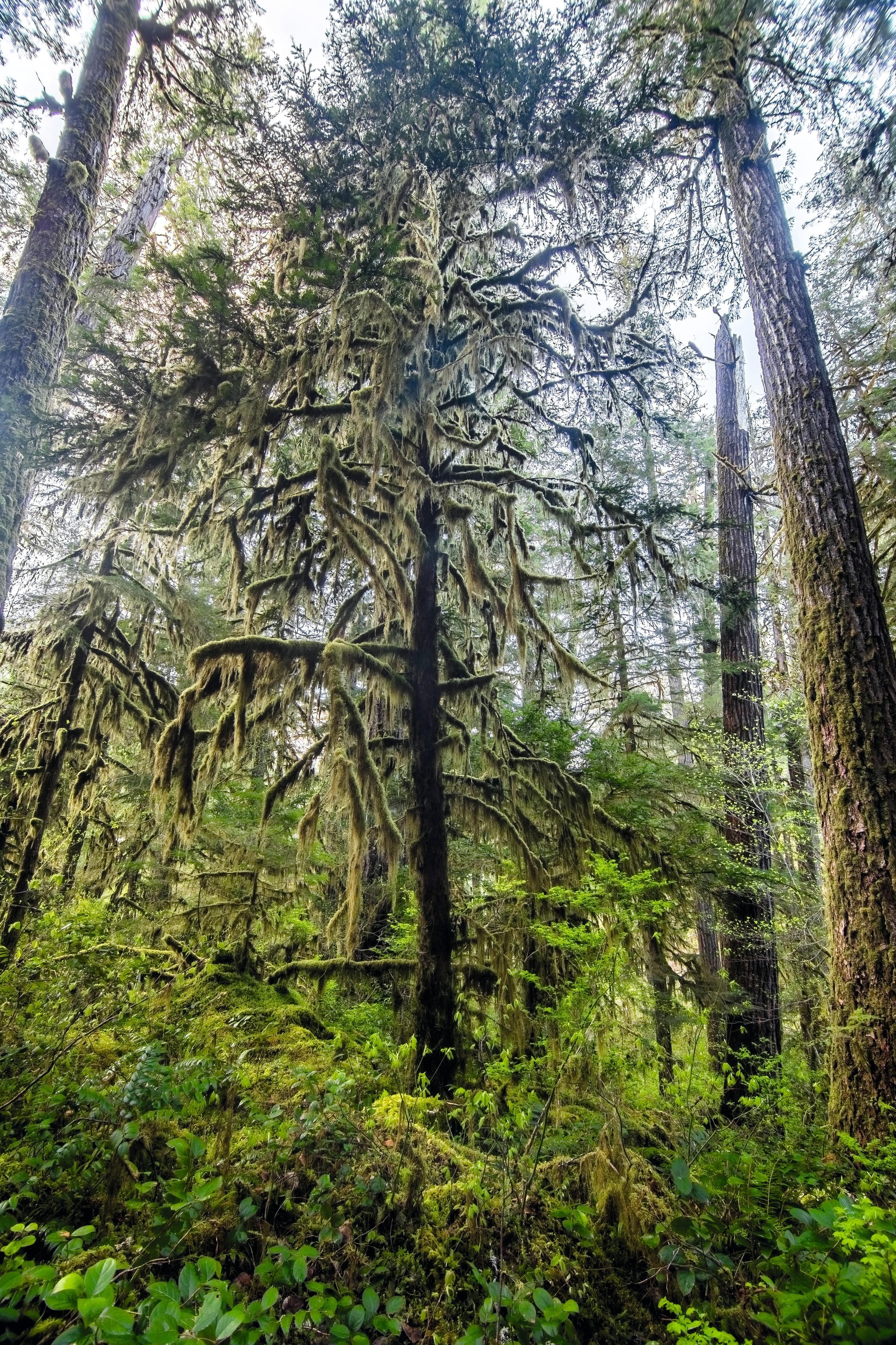 Forêt d'ifs du Pacifique (Oregon, États-Unis)