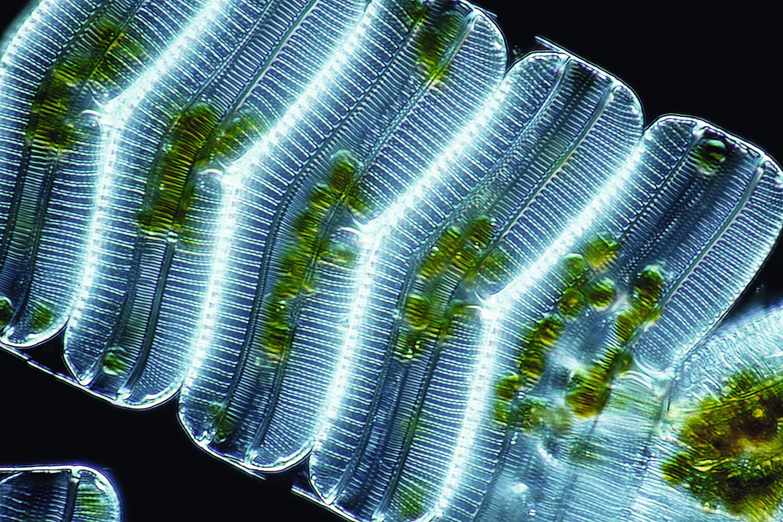 Image d'un phytoplancton