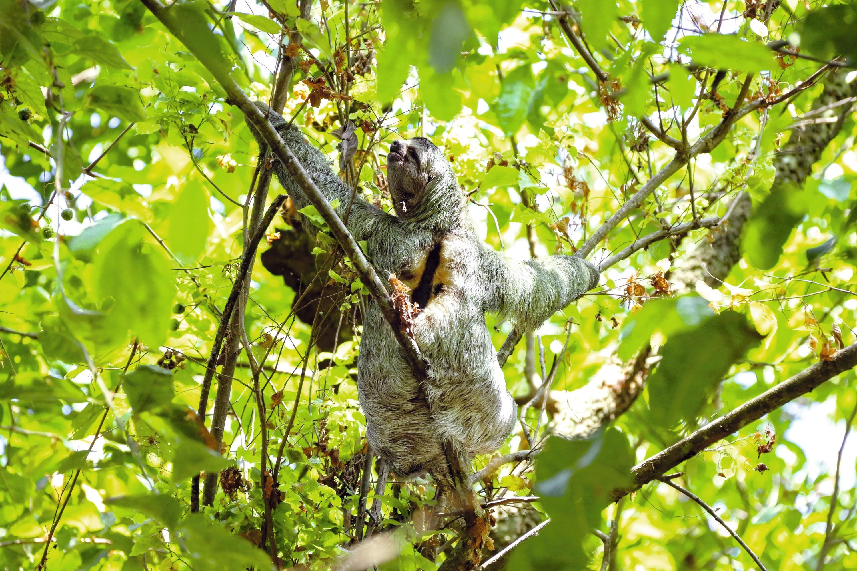 Paresseux dans la forêt amazonienne