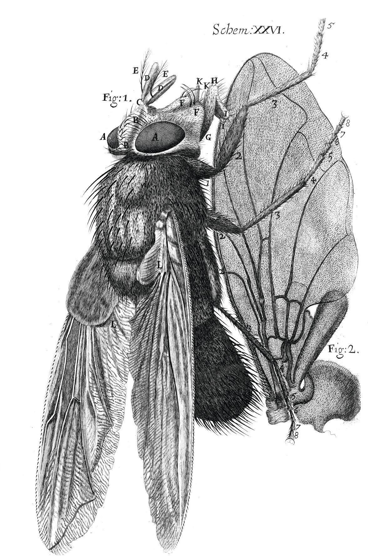 Portrait d'une mouche dessiné par Hooke (1665).