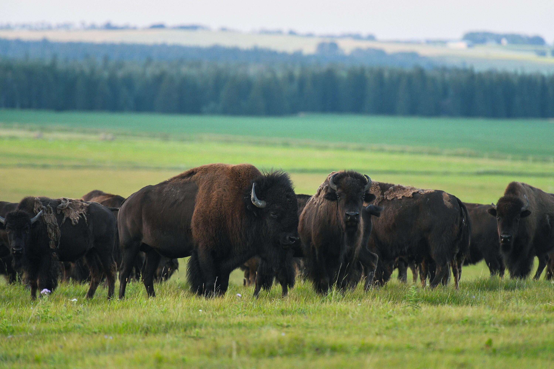 Bisons réintroduits dans le Banff National Park (août 2018)