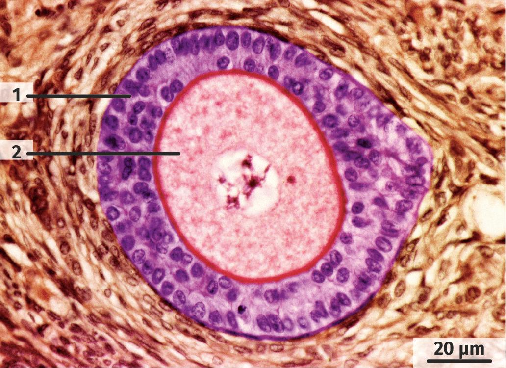 Follicule secondaire observé au microscope optique.