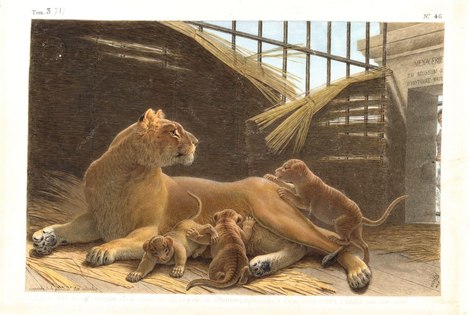 Nicolas Maréchal, Lions nés le 18 brumaire an IX, dans la ménagerie du Muséum, 1801, gouache sur vélin, 46 x 33 cm, bibliothèque du Muséum, Paris.