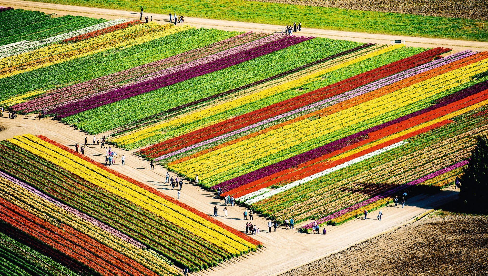 Un champ de tulipes au Pays-Bas.