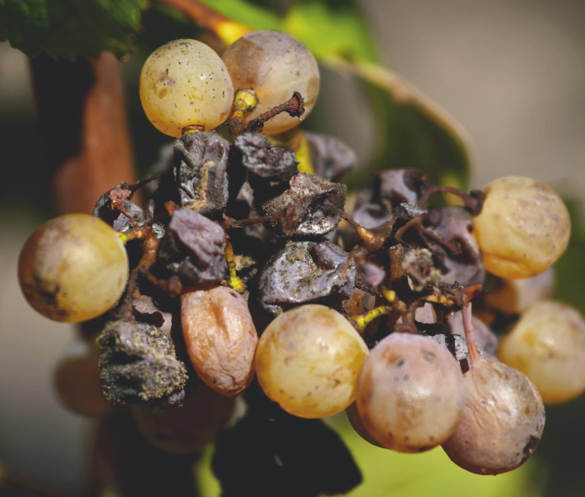 Un système productif original : le vignoble de vin liquoreux