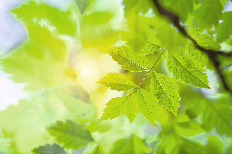 Feuilles de savonnier Koelreuteria paniculata éclairées par le Soleil