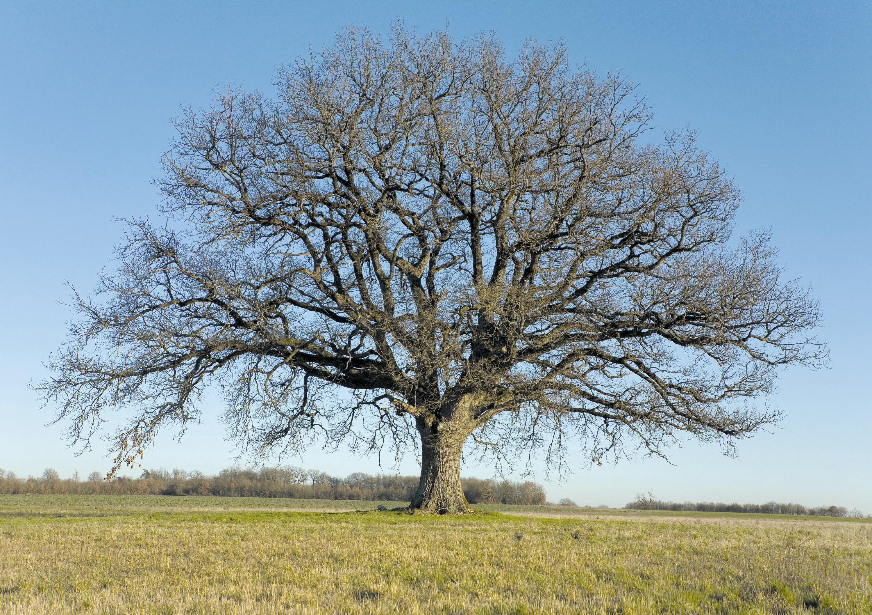 Un chêne en hiver