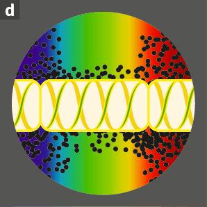 Photographie d'un filament de spirogyre avec éclairage par les radiations